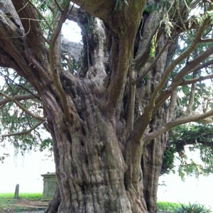 ancient yew tree